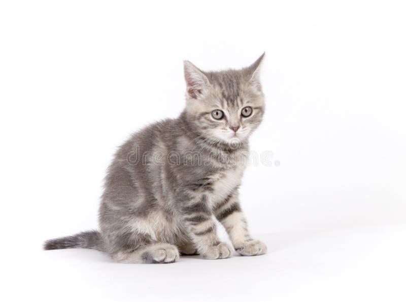 Les écossais marmoréens gris multiplient le chaton photographie stock