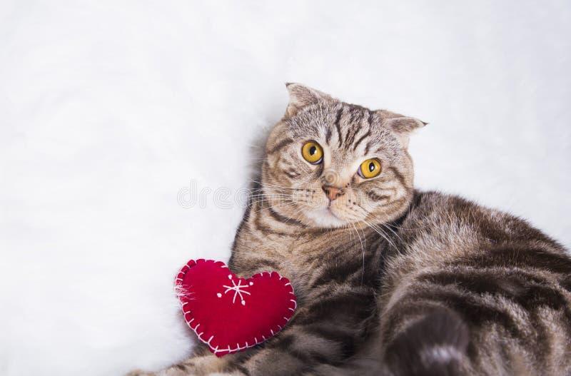 Les écossais mignons se plient avec le coeur rouge sur la fourrure blanche photographie stock libre de droits