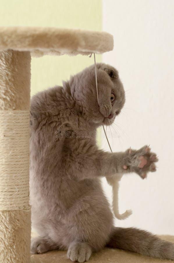 Les écossais plient Kitty bleu photos libres de droits