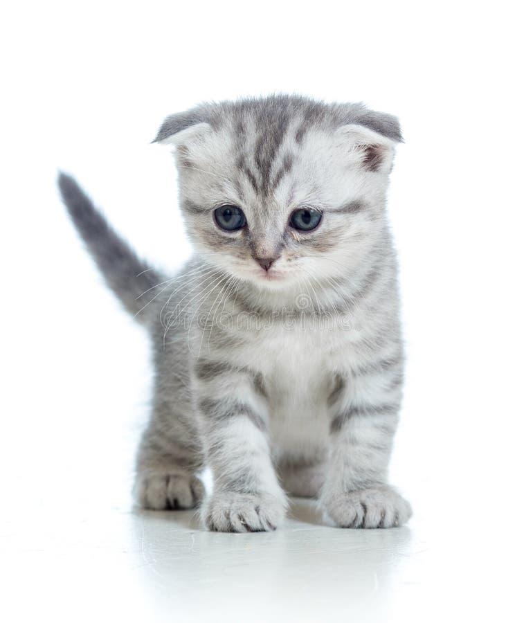Les écossais plient le chaton gris de chat sur le fond blanc images libres de droits