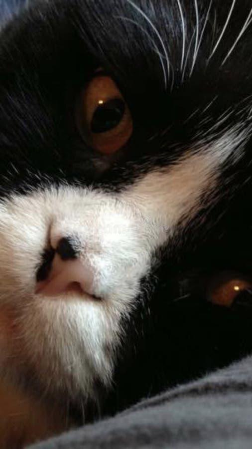 Les écossais plient le minou mignon d'oreilles drôles de pli de visage de chat image libre de droits