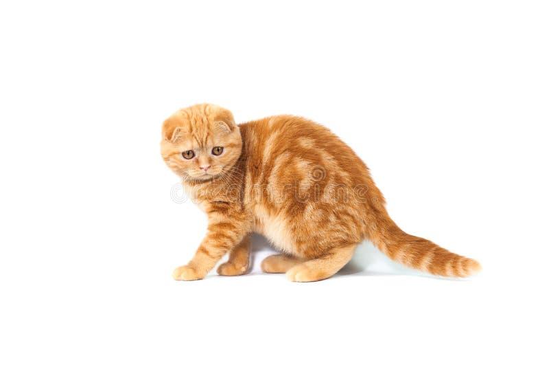 Les écossais plient le petit chat de bébé de couleur rouge avec les cheveux courts dans la rayure avec de petites oreilles et gra images libres de droits