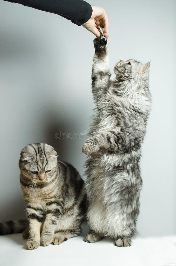 Les écossais se plient et des chats droits écossais sont joués image libre de droits