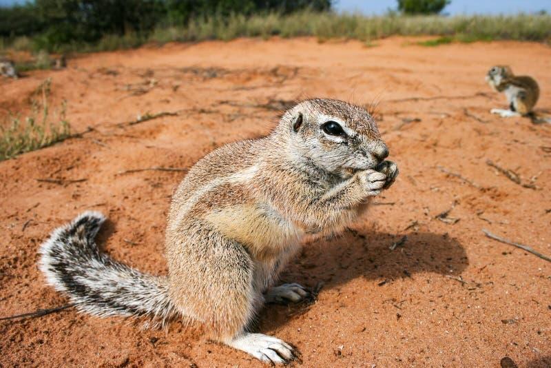 Les écureuils terrestres du Cap, Xerus inauris mangeant dans le Kgalgadi Transborder Park, Afrique du Sud image stock
