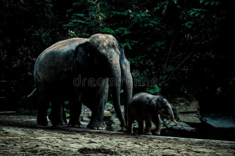 Les éléphants dans le zoo photos libres de droits