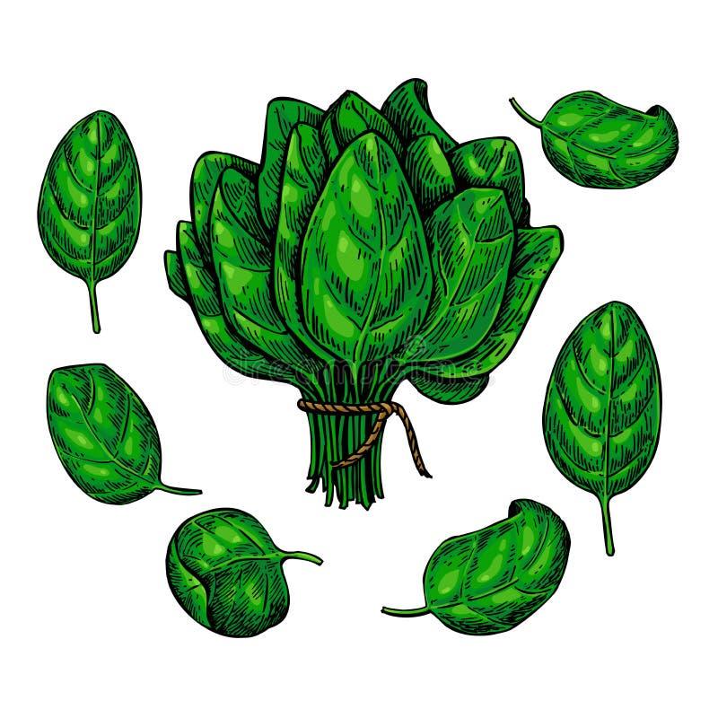 Les épinards partent de l'ensemble tiré par la main de vecteur Illustration végétale illustration stock