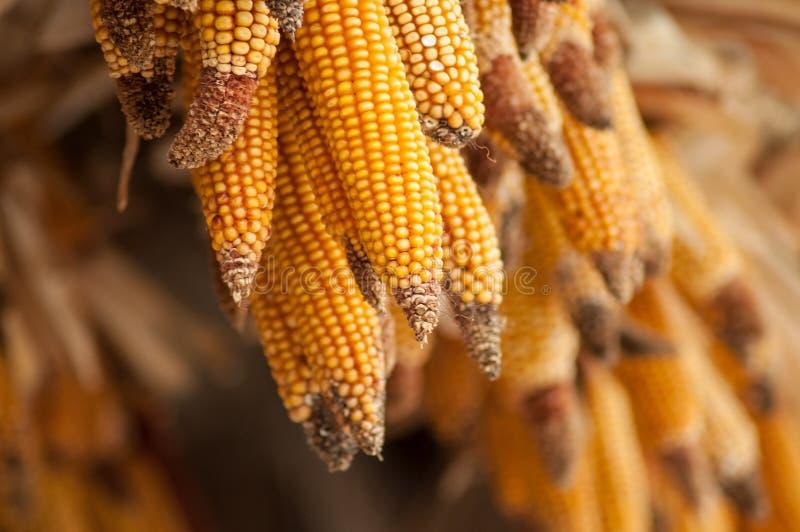 les épis de l'alignement de blé ont suspendu à la fenêtre dans un SAL photos stock