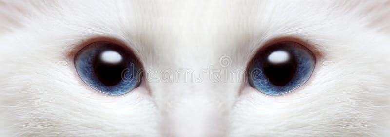 Les œil bleu du chat blanc images stock