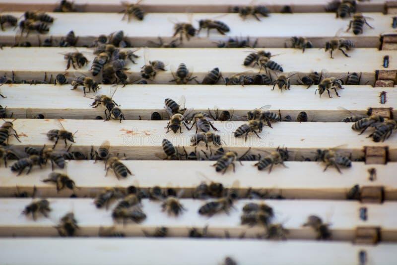 Les abeilles à l'intérieur d'une ruche dans le domaine photos stock