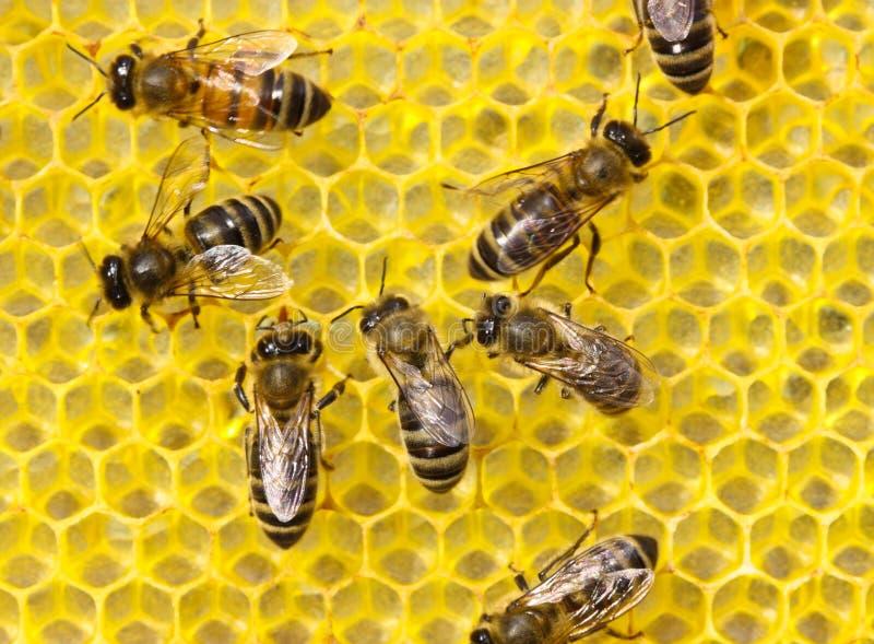 Les abeilles construisent des nids d'abeilles images libres de droits