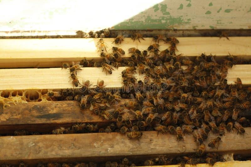Les abeilles de miel ont maintenu dans une boîte d'abeille produisant le miel frais photo stock