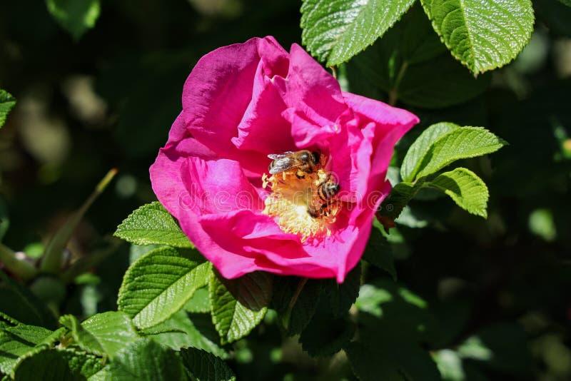 Les abeilles de miel sur le rugosa se sont lev?es photographie stock