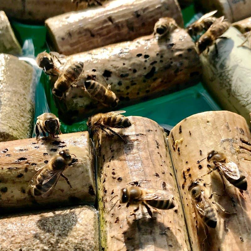 Les abeilles domestiques à ailes ont volé à l'endroit d'arrosage photographie stock