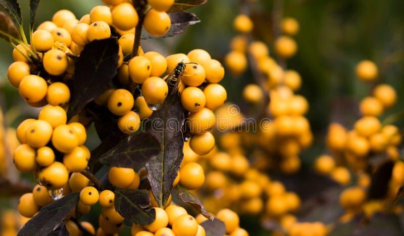 Les abeilles et les gouttes de rosée se reposent sur beau, jaune, des baies d'automne photo libre de droits