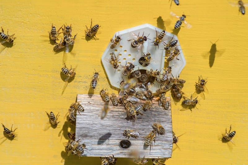 Les abeilles introduisent le miel dans la ruche jaune au rucher images stock