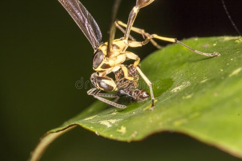 Les abeilles mangent l'insecte photo libre de droits