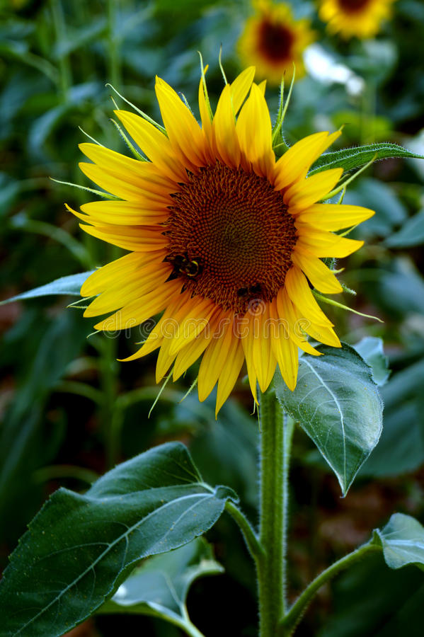 Les abeilles pollinisent un tournesol photo libre de droits