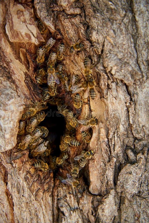 Les abeilles rassemblent le miel dans une ruche sauvage dans la cavité images stock