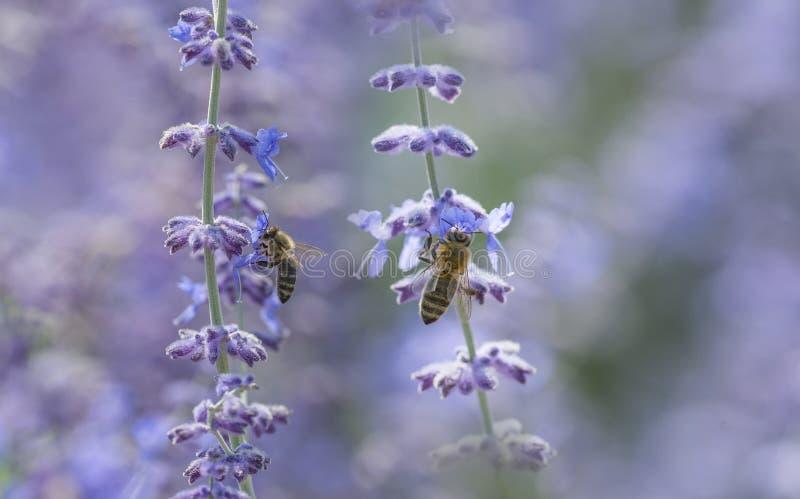 les abeilles se ferment sur des fleurs de lavande photographie stock