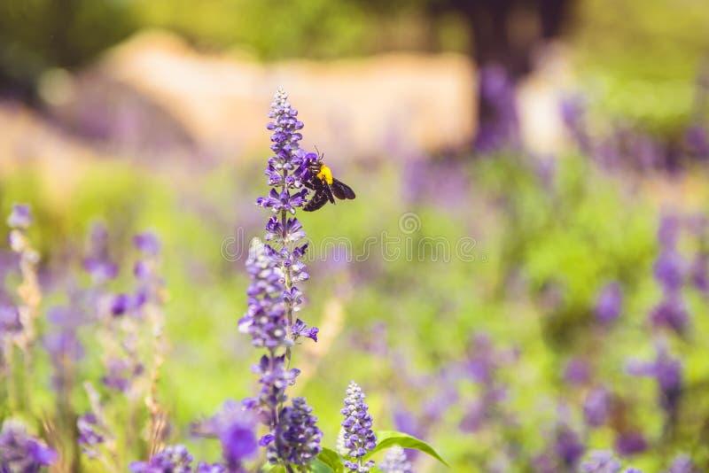 Les abeilles sentent les fleurs pendant le matin image libre de droits