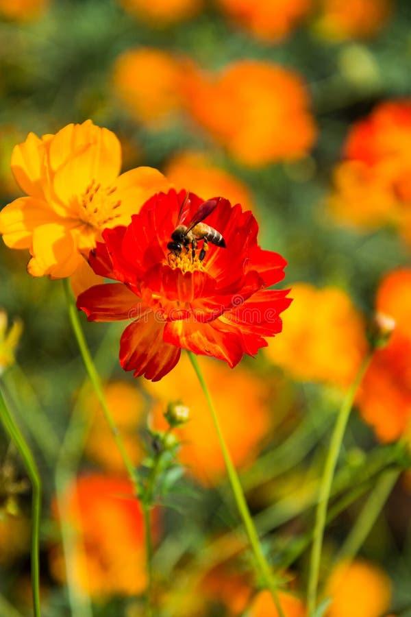 Les abeilles sont nectar en fleurs en Thaïlande image libre de droits