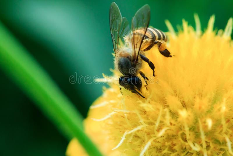 Les abeilles sur les fleurs jaunes en nature fleurissent image stock