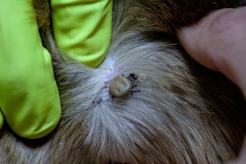 Les acarides mordent un chien rouge?tre photographie stock