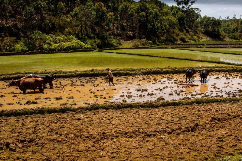 les agriculteurs au Madagascar fonctionnant dans le riz met en place photographie stock libre de droits