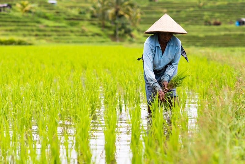 Les agriculteurs de Bali plante le riz dans la rizière photo stock