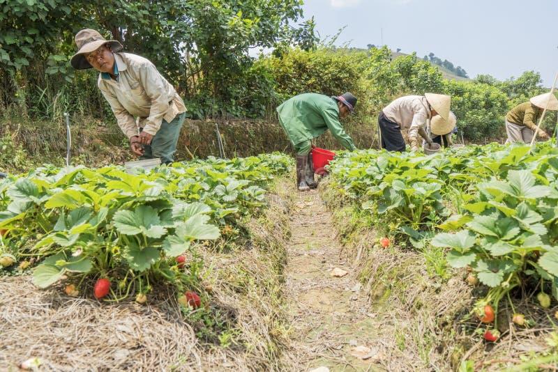 Les agriculteurs de groupe moissonnent des fraises dans le domaine images stock