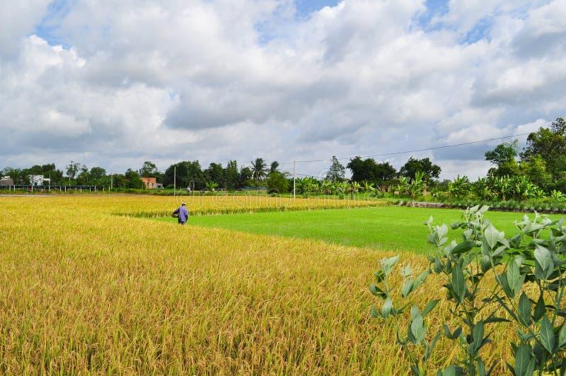 Les agriculteurs moissonnent le riz dans le domaine d'or au printemps, dans le Vietnam en septembre 2014 occidental photographie stock libre de droits