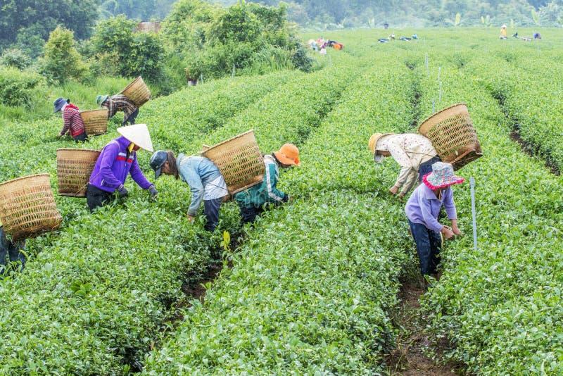 Les agriculteurs travaillent au champ de thé, Bao Loc, Lam Dong, Vietnam photos libres de droits
