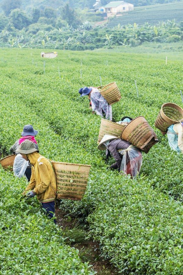 Les agriculteurs travaillent au champ de thé, Bao Loc, Lam Dong, Vietnam image libre de droits