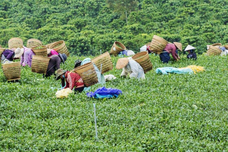 Les agriculteurs travaillent au champ de thé, Bao Loc, Lam Dong, Vietnam photos stock