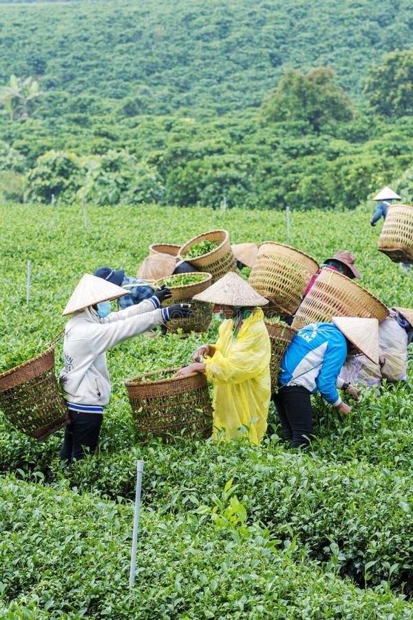 Les agriculteurs travaillent au champ de thé, Bao Loc, Lam Dong, Vietnam images libres de droits