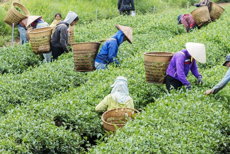 Les agriculteurs travaillent au champ de thé, Bao Loc, Lam Dong, Vietnam images stock
