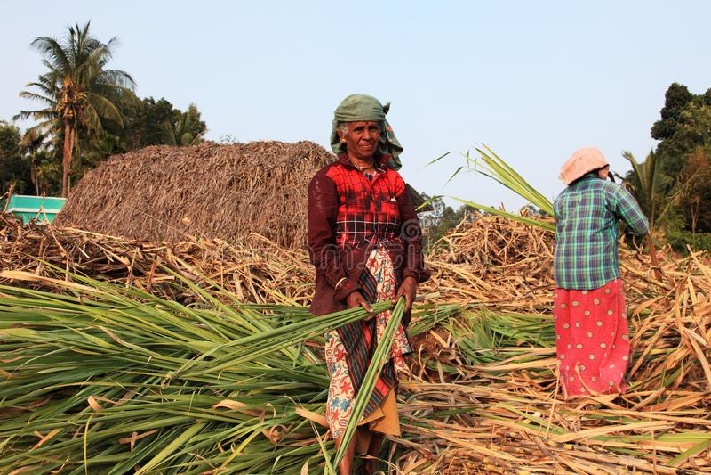 Les agriculteurs travaillent dans les champs de canne à sucre image libre de droits