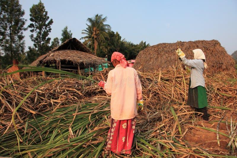 Les agriculteurs travaillent dans les champs de canne à sucre photo stock