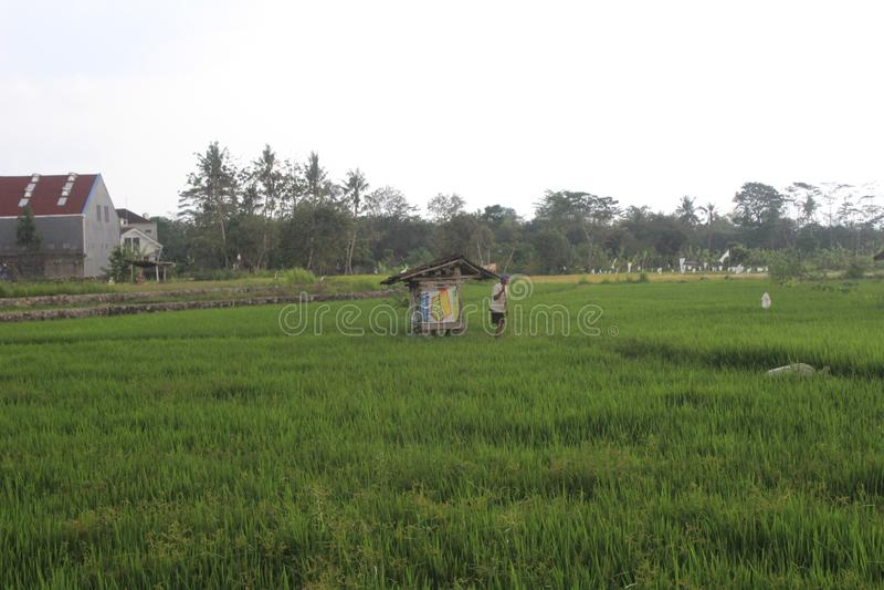 les agriculteurs travaillent dans les domaines de riz photo libre de droits