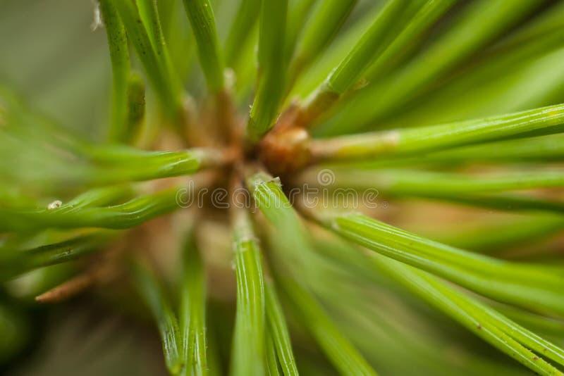 Download Les aiguilles du pin photo stock. Image du conifére, accroissement - 77157980