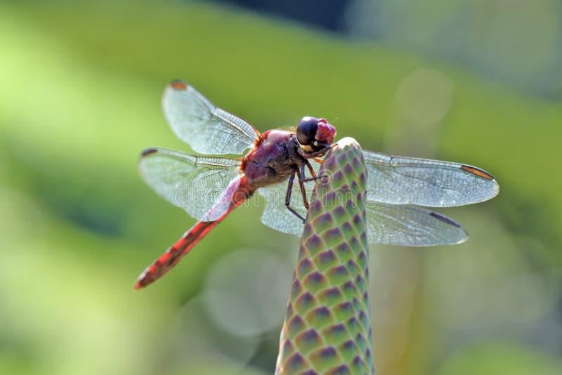 Les ailes lumineuses du ` s de libellule dans le contre-jour image libre de droits