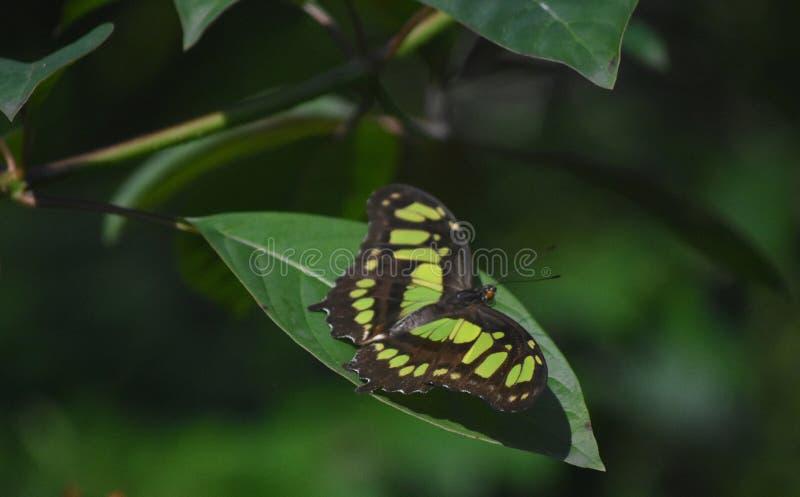 Les ailes ont écarté au loin sur un papillon vert et noir de malachite images libres de droits