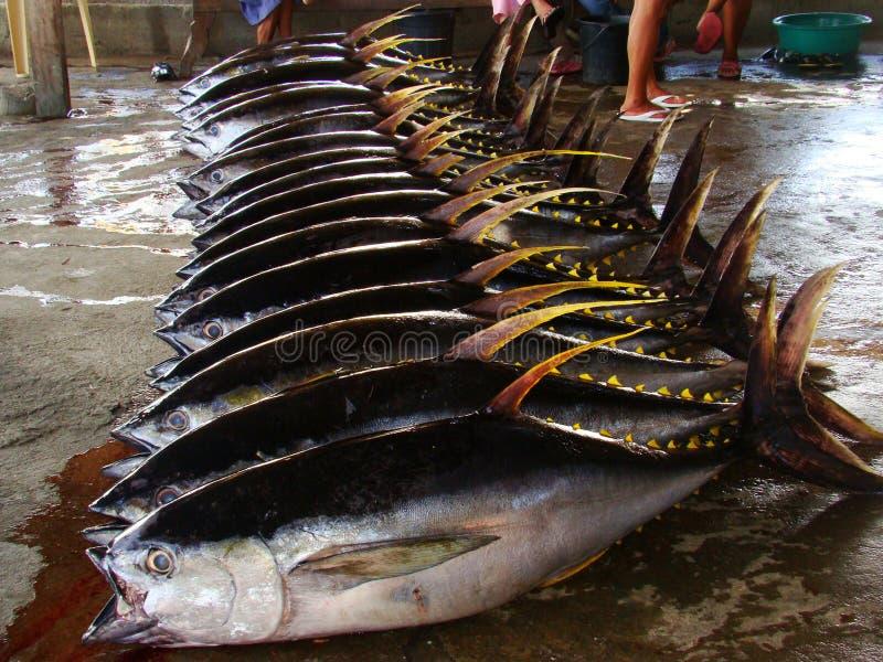 Les albacares de Thunnus de thon de truite saumonnée ont fraîchement débarqué par les pêcheurs artisanaux dans Mindoro, Philippin photos stock