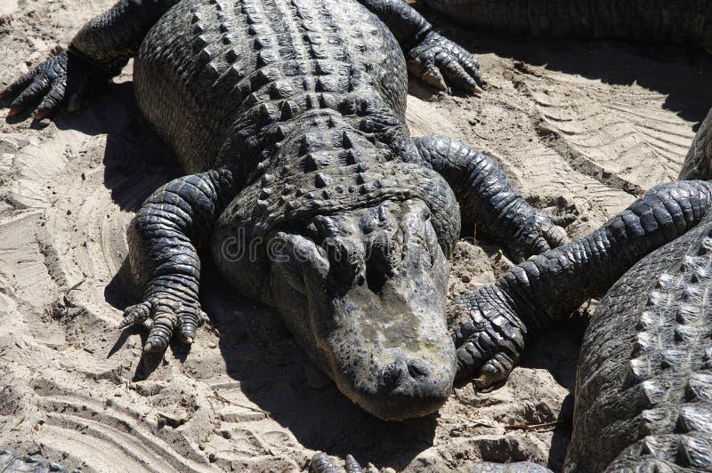 Les alligators recueillent près du bord d'un étang, ferme de St Augustine Alligator, St Augustine, FL photo libre de droits