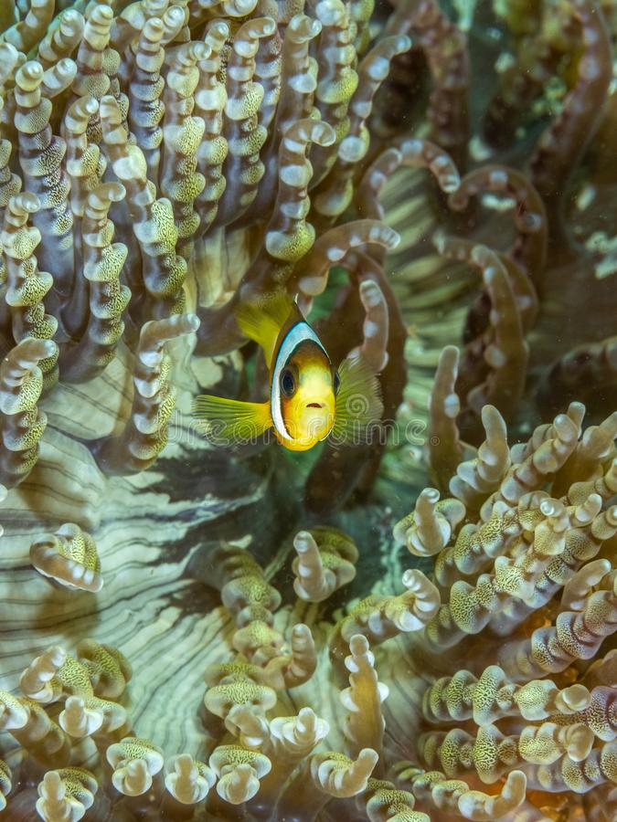 Les anemonefish de Clark, clarkii d'Amphiprion Bangka, Indon?sie photo stock
