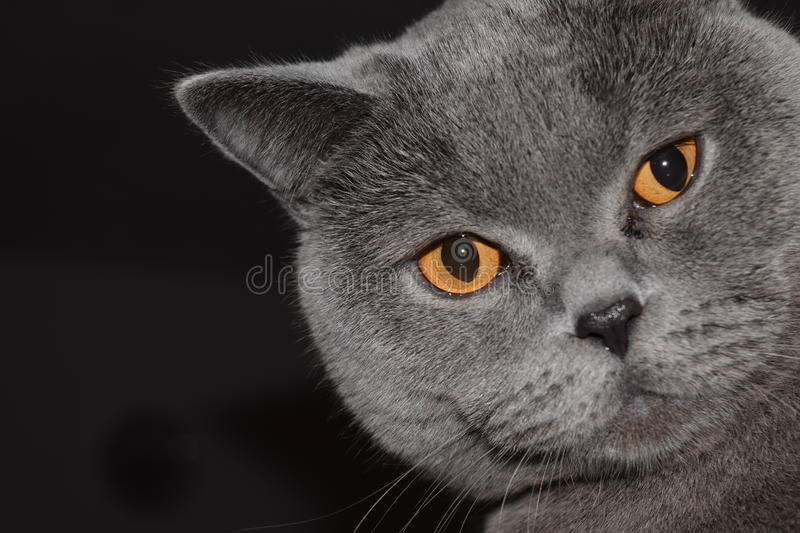 Les Anglais Shorthair - chat photo stock