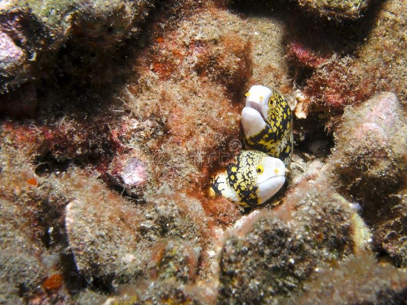 Les anguilles de moray de flocon de neige partagent un récif coralien images libres de droits