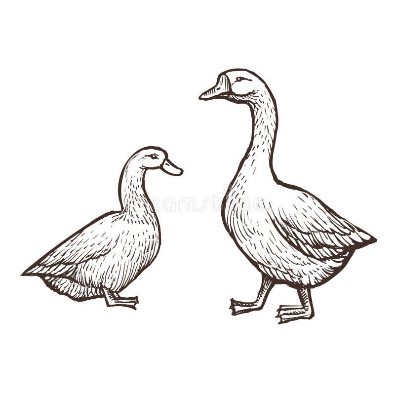 Les animaux de ferme d'oie et de canard esquissent, les oiseaux d'isolement sur le fond blanc Type de cru illustration stock