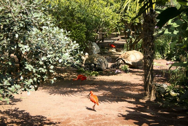 Les animaux du zoo, l'ibis écarlate De taille moyenne, elle atteint une envergure d'environ 90 cm photo libre de droits