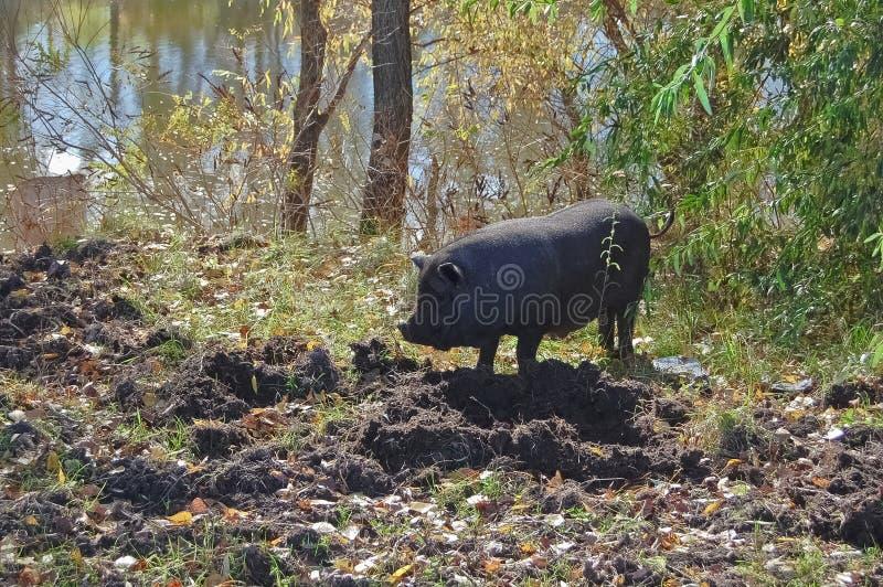 Les animaux familiers sont un attribut intégral de la vie provinciale ukrainienne sur leur terre photo stock